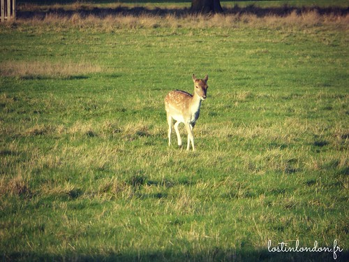 bambi richmond park