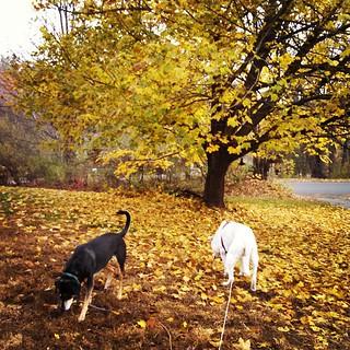 Happy Tuesday! My boys.. #dogstagram #instadog #leafpeeping #fall #newengland #leaves #mapletree #coonhoundmix #labmix #ilovebigmutts #seniordog #ilovemyseniordog #ilovemydogs