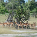 Antelope (Eric Browett)