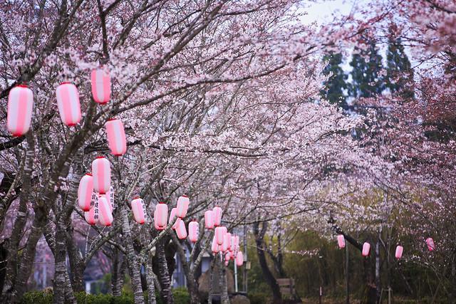 Cherry Blossom - 忠元公園