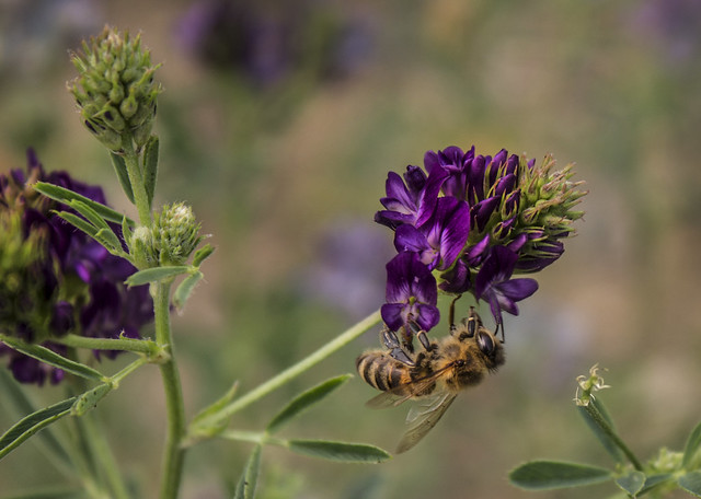 Bee and alfalfa