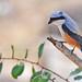 Long-tailed Shrike by Anuj Nair