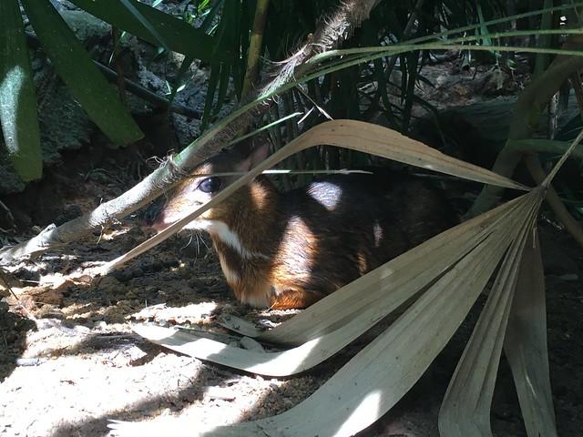 茂みの中にはマメジカ。たいへんかわいい。