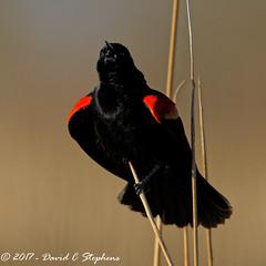 Blackbird Bleats