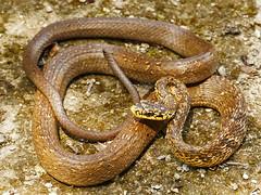 Phrynonax poecilonotus