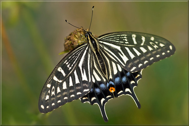 Chinese yellow swallowtail (Papilio xuthus)