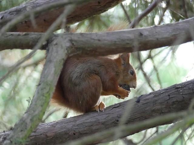 Eichhörnchen, Wilhelma