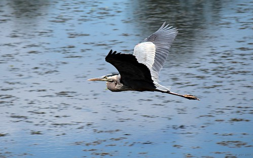 ardeaherodias bird containmentpond greatblueheron heron inflight nature naturewalk sterlingridge texas thewoodlands viewsoftexas waterbird wildbird zeesstof