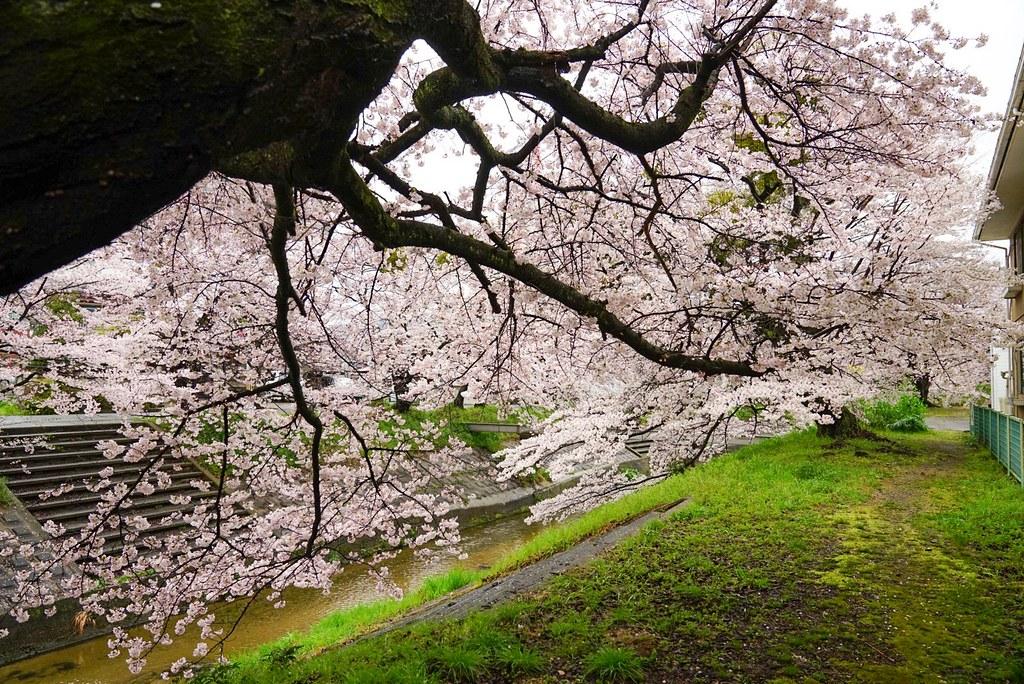 雨上がりの桜に