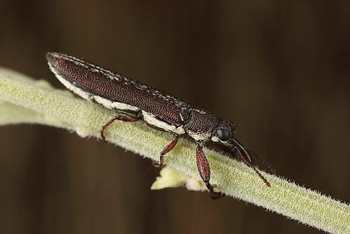 Sutural Belid Weevil (Rhinotia sp)