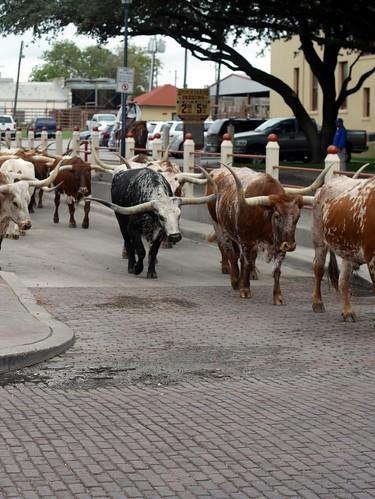 Texas Longhorn - 2