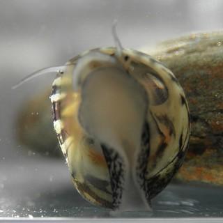 Theodoxus fluviatilis 04