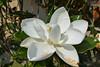 Magnolia grandiflora (2)