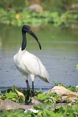 great egret(0.0), egret(0.0), animal(1.0), fauna(1.0), beak(1.0), ibis(1.0), bird(1.0), wildlife(1.0),