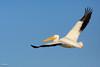 C57A5923 - Pelecanus erythrorhynchos – Pelícano Blanco - American White Pelican - Pélican d'Amérique by Carlos A. Objio Sarraff