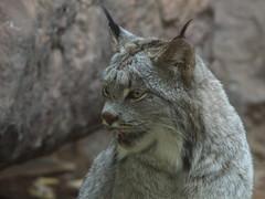 animal, small to medium-sized cats, mammal, lynx, fauna, close-up, wild cat, whiskers, bobcat, wildlife,