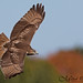 Red-tailed Hawk Over The Hudson by Mitch Vanbeekum Photography