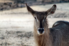 animal, deer, waterbuck, fauna, wildlife,