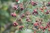 Berries in Abundance
