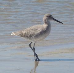 animal, fauna, redshank, sandpiper, beak, bird, wildlife,