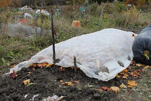 garlics under cover