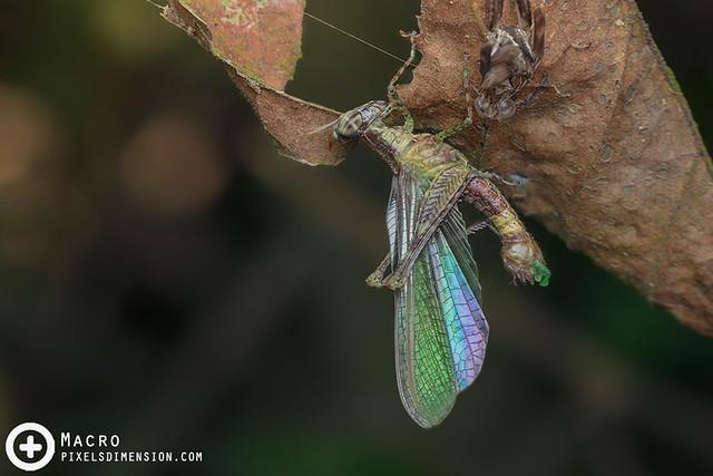 Freshly moulted grasshopper