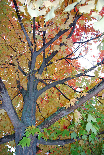 Canadian maple tree inside the fall canopy