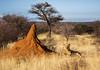 Wild Lion near Termite Mound