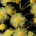 Small photo of Acacia genistifolia Fabaceae Knocklofty