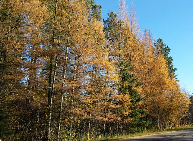 a row of yellow tamarack trees