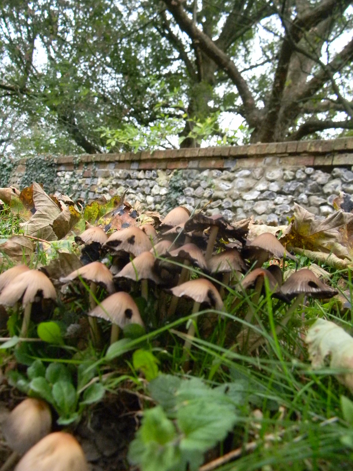 Inkcaps Riddlesdown to Coulsden South