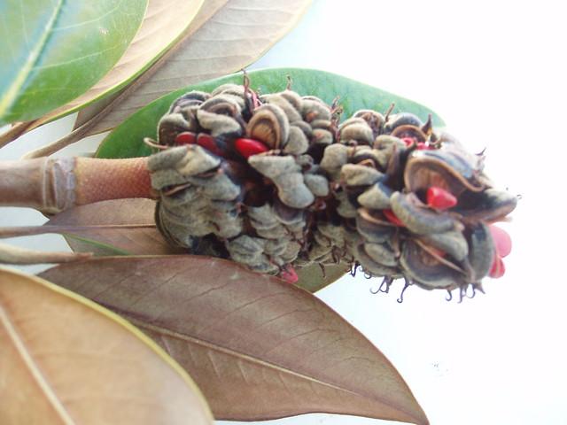 201110150106-magnolia-seedhead