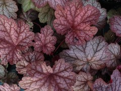 Heuchera photo
