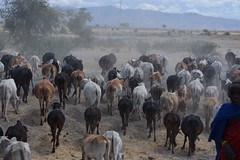 cattle-like mammal, mammal, herd, goatherd, cattle,