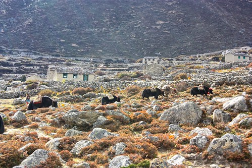 a herd of Yaks graze outside of a mostly deserted town
