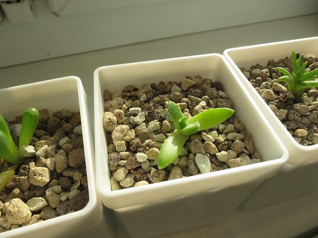 Carruanthus peersii