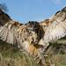 Eagle Owl Landing by john.brobyn
