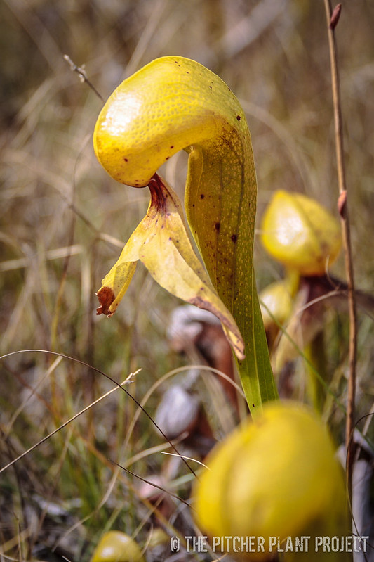 Darlingtonia Excursion 2014
