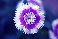 The purple effect