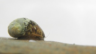 Theodoxus fluviatilis 09
