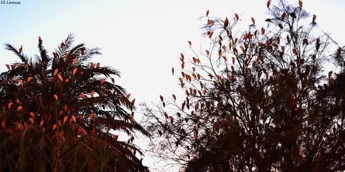 """"""" Garzas enamoradas de Mexicali  """" aunque es desierto y el clima puede ser extremo estas aves viven en un grupo de palmas ubicadas en la capital cachanilla Fotos:El Lemus"""
