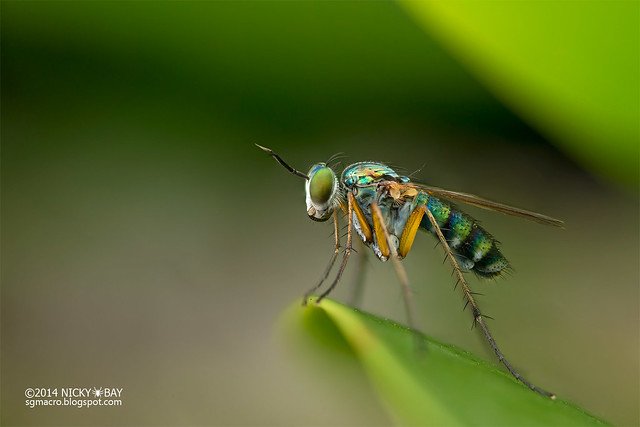 Long-legged fly (Dolichopopidae) - DSC_7810