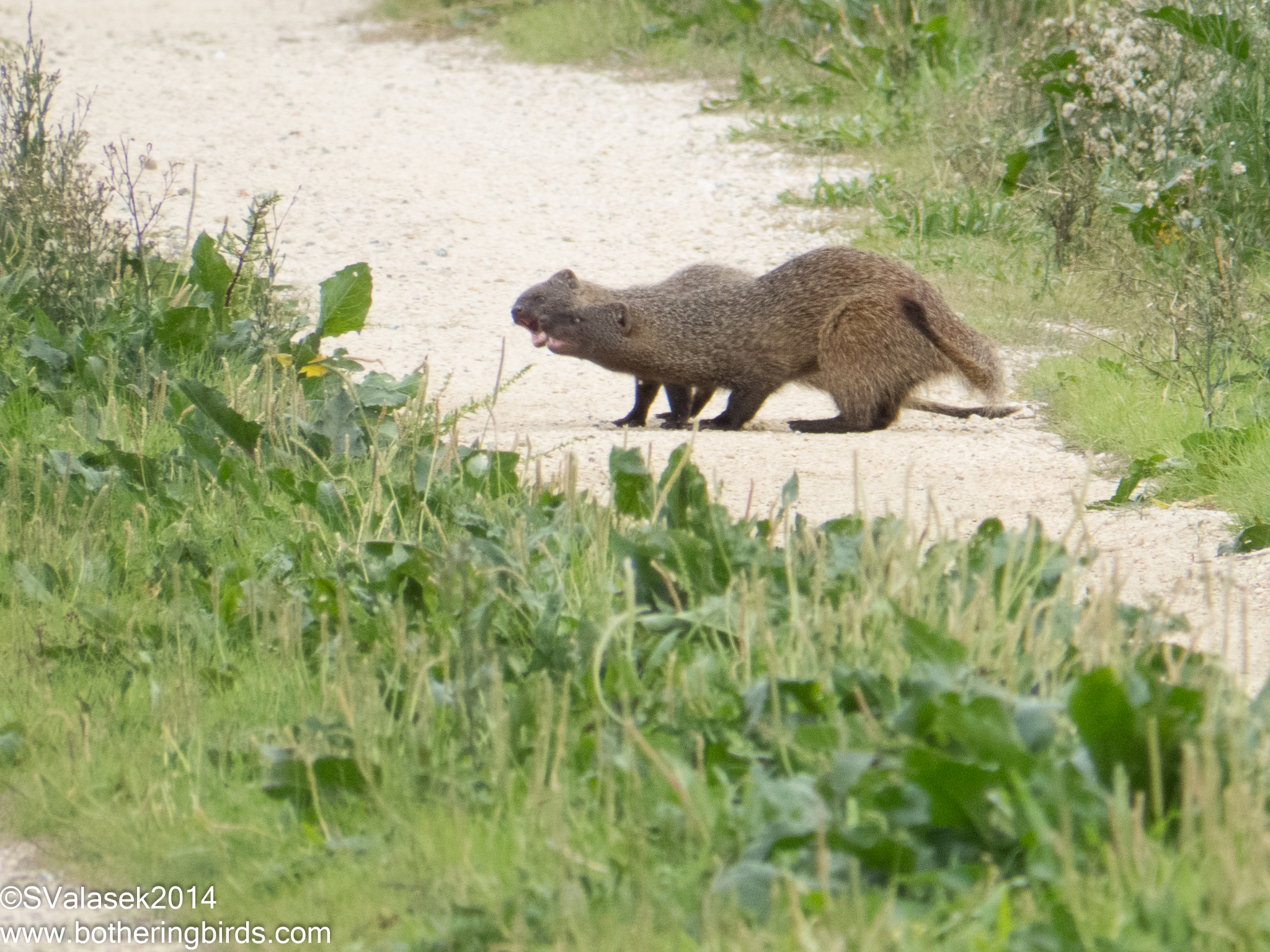 Egyptian Mongooses