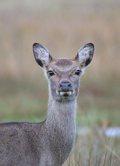 Sika deer at Arne