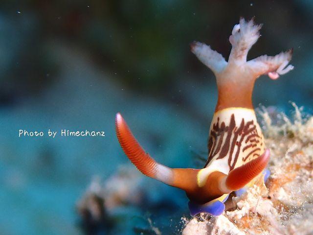 こいつは海水牛ですな!クロスジリュウグウウミウシ