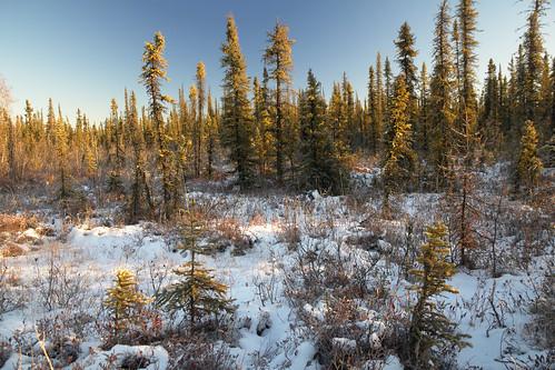 autumn alaska interior fairbanks borealforest