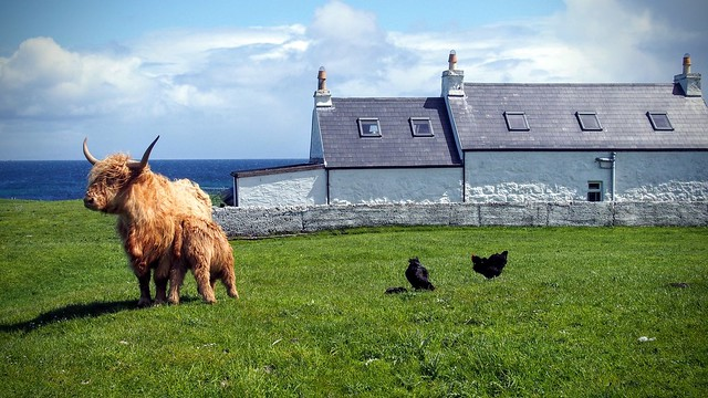 Cows at Balemartine, Tiree