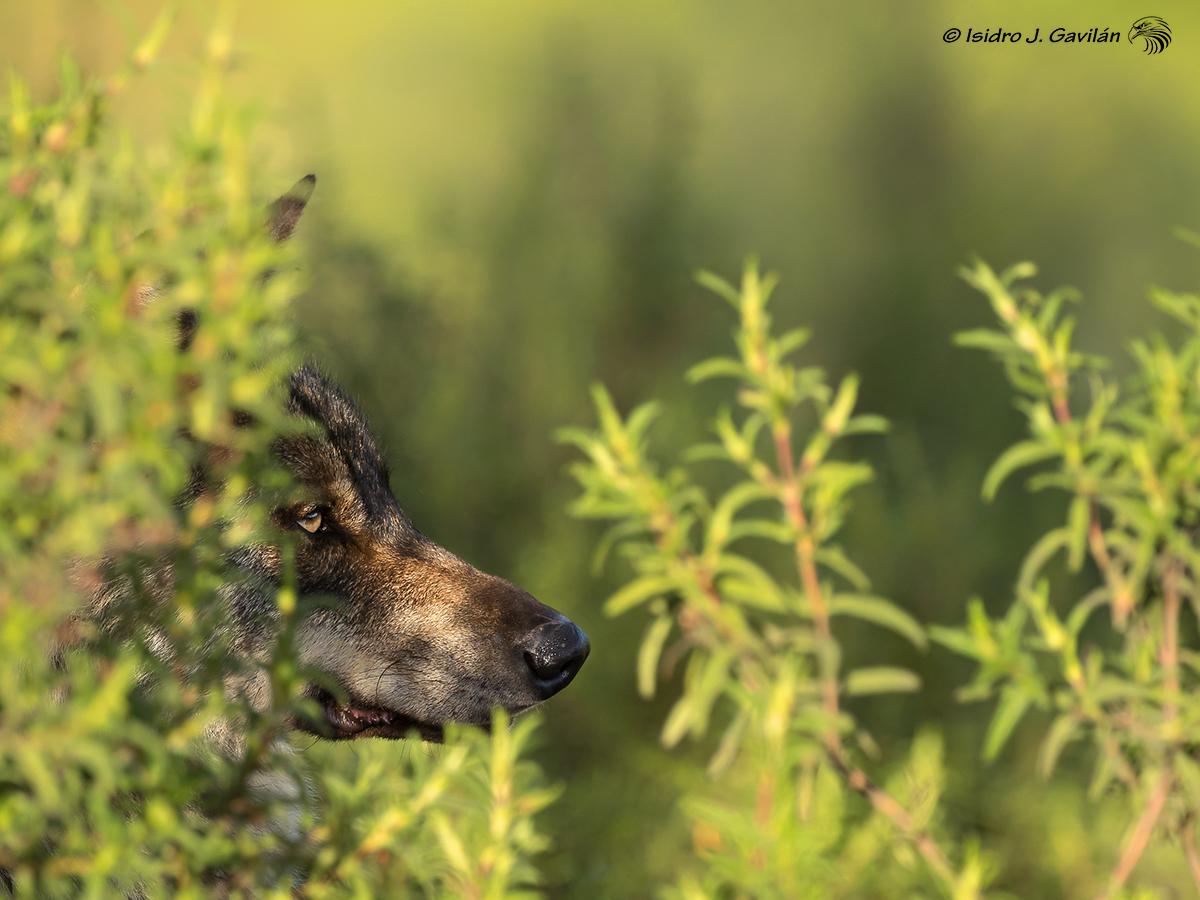 07.- &quot;Lobo ibérico &#40;Canis lupus <br />signatus&#41;&quot; - Isidro J Gavilan