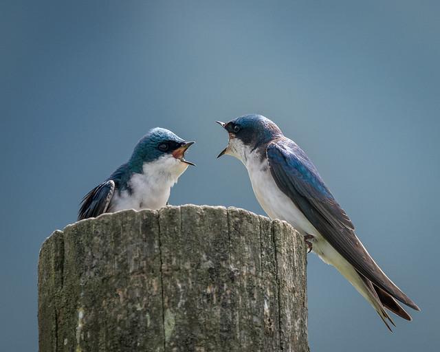 Tree Swallows [Explored 3/17/17 #106]