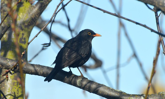 Blackbird (2) Taken through window and can see the tree buds breaking open 3 weeks before last year
